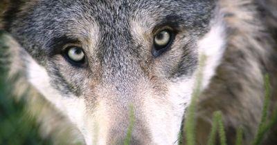 Menschliche Dummheit kostete diese Wölfin ihr Leben.