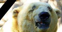 Traurigster Eisbär der Welt ist tot