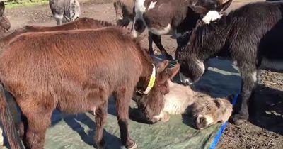Dieser tote Esel wird rührend von seiner Herde verabschiedet