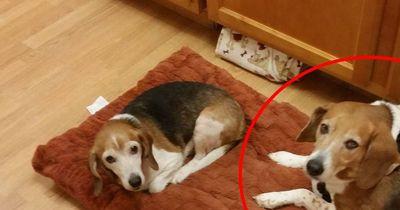 Dieser Beagle wog 40 Kilo. Warum, wirst du nicht glauben!
