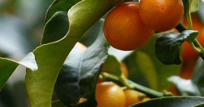 Wegen zahlreicher Skandale wollen Menschen diese Frucht nicht mehr essen