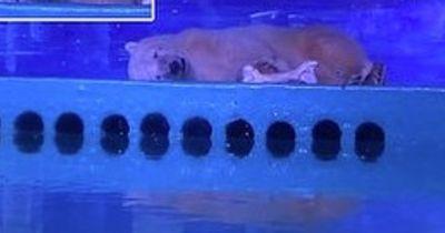 Dieser Eisbär wird in einem Einkaufszentrum gefangen gehalten