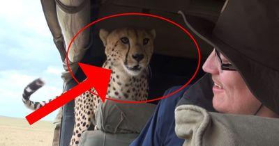 Schreck auf Safari: Plötzlich ist der Gepard IM Auto!