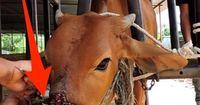 Diese Kuh muss jeden Tag schreckliche Schmerzen ertragen - dabei gilt sie in Indien als heilig!