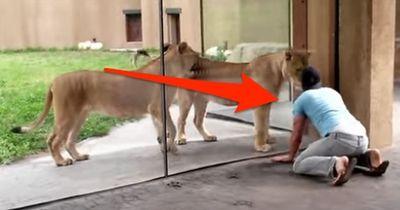 Lebensmüde? Er wollte doch nur mit den Löwen spielen!