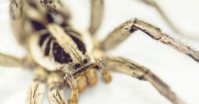 Diese Spinne hätte eigentlich tot sein sollen - doch er sollte sich bitterböse getäuscht haben!