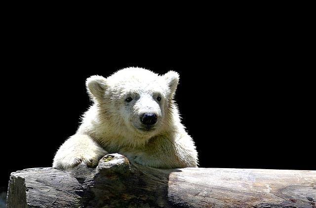 Nun wurde das Rätsel gelöst: Darum musste Eisbär Knut wirklich sterben!