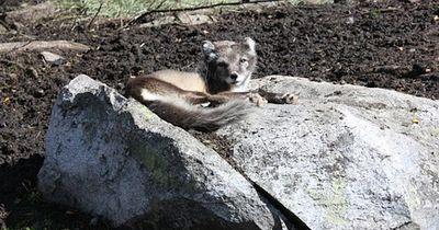 Dieser Fuchs wurde von Besitzer zu Besitzer gegeben