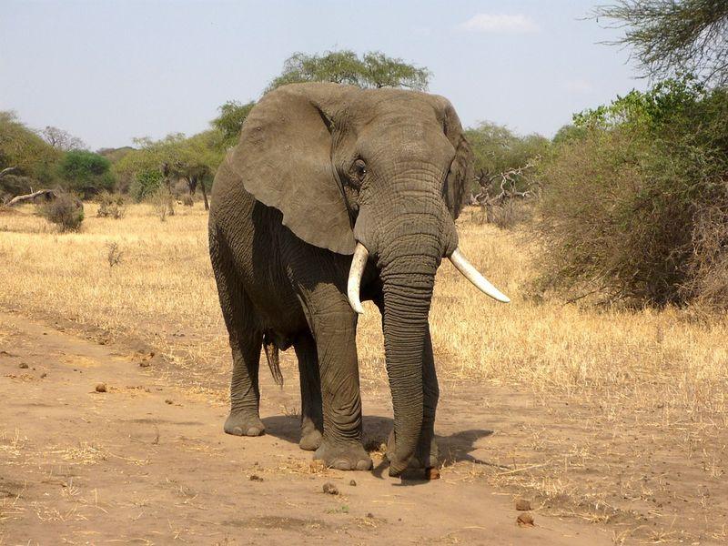 Ein Elefant kommt diesem Mädchen gefährlich nah. Ihre Reaktion ist perfekt!