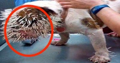 WAS ist dieser Bulldogge passiert? Wir haben die unfassbare Story