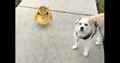 Hunde, die die Schnauze voll haben vom Pokémon Fangen