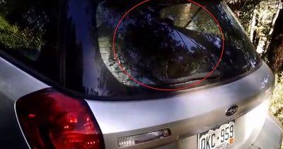 Ein Raubtier will in ein Auto einbrechen - doch dann kommt die unerwartete Wendung