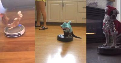 Diese Tiere reiten zu gerne auf Roboterstaubsaugern