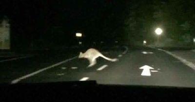 Entlaufenes Känguru wurde im Sauerland gefunden