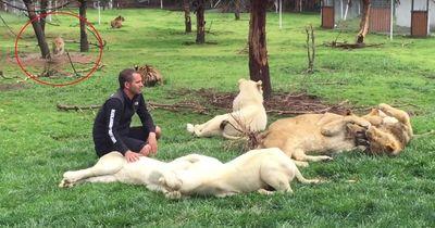 Ein Tierpfleger achtet nicht darauf, was die Raubtiere hinter seinem Rücken treiben...