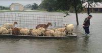 Sie riskieren ihr Leben, um Tiere vor der Flut zu retten