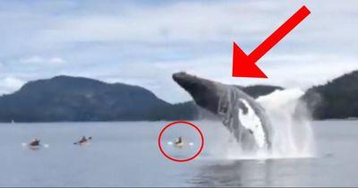 Ein Buckelwal tötet fast diese Kajakfahrer