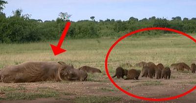 Was diese Mungos mit einem Warzenschwein machen, konnte sich nur Mutter Natur ausdenken