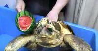 Das ist die gefährlichste Schildkröte der Welt!