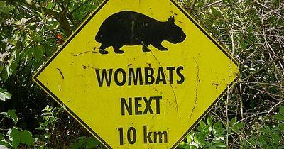 Australierin wurde von einem Wombat attackiert
