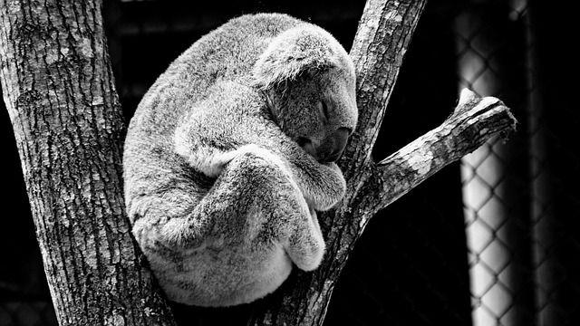 Der Lebensraum von Koalas wird immer knapper