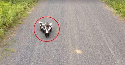 Als ihm eine Stinktier-Familie begegnet, erwartet er das Schlimmste
