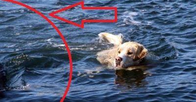 Heftig! Dieser Hund schwimmt jeden Tag weit aufs offene Meer hinaus!