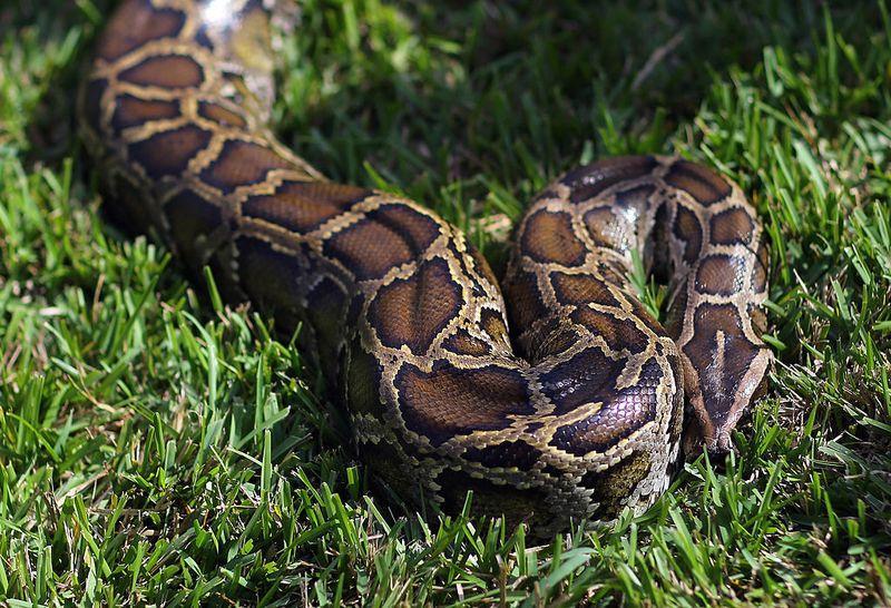 Mann wird von Python gewürgt