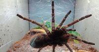 Giftspinneninvasion in Englischer Stadt