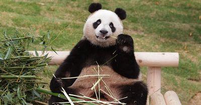 Gute Neuigkeiten: Pandas sind nicht mehr vom Aussterben bedroht