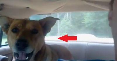 Dieser Hund bereut es, in das Auto gestiegen zu sein...