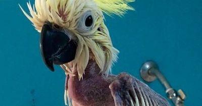 Ein einsamer Kakadu riss sich alle Federn aus...