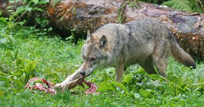 """Nach """"Polizeiruf 110"""": So wahrscheinlich ist ein Wolfsangriff wirklich"""