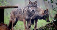 So sehr hat sich der Wolf in Deutschland bereits vermehrt
