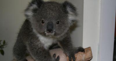 Dieser Koala überrascht nach vielen Jahren seine Retter
