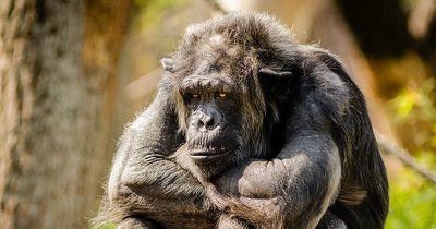 Dieser gelähmte Affe kann nun wieder laufen