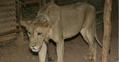 Dieser Löwe wurde als Statussymbol gehalten