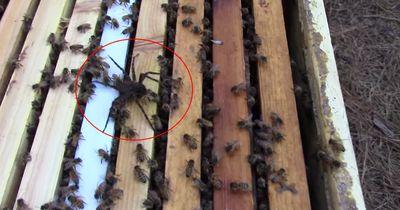 Hier kämpft eine Spinne gegen hunderte Honigbienen