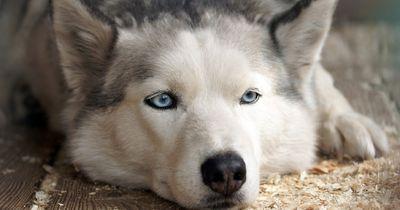 Bitte um Mithilfe: Neuer Besitzer für herrenlosen Husky gesucht
