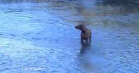 Als die Pitbulls im Fluss planschen, ziehen sie plötzlich etwas Gigantisches an Land