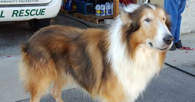 Nach 16 Jahren wird dieser Collie von seiner Familie ins Tierheim abgeschoben