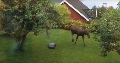 Deshalb sollte man einen Elch nicht mit einem Rasenmäher verscheuchen