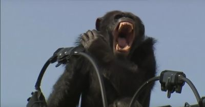 Ausgebüxter Schimpanse klettert auf Stromleitungen durch die Stadt
