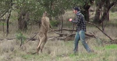 Das steckt hinter dem viralen Känguru-Video
