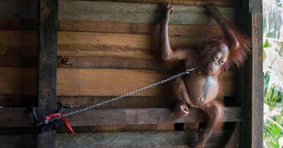 Sechs Monate lang lebte der Baby Orang-Utan an eine Wand gekettet