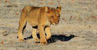 So könnte die Trophäenjagd Löwen retten