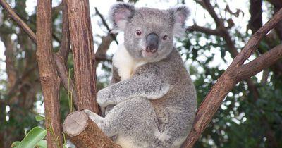 So rettet ein Mann einen Koala vor dem Ertrinken