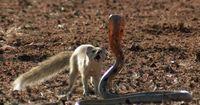 Ein nervenaufreibender Kampf: Kobra vs. Mungo