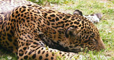 Das macht der Zoologe mit einem behinderten Geparden