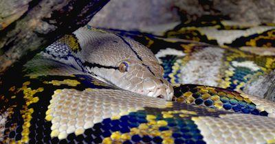 Vier Meter lange Python würgt etwas Unerwartetes aus